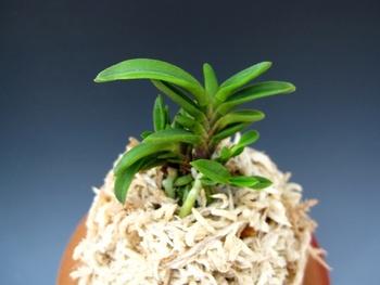 금은라사단엽金銀羅沙短葉Kinginrasha(short leaves)